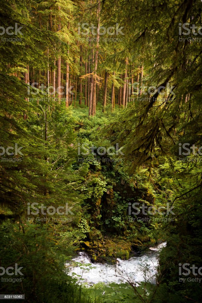 Trees Above River in Olympic National Park stock photo