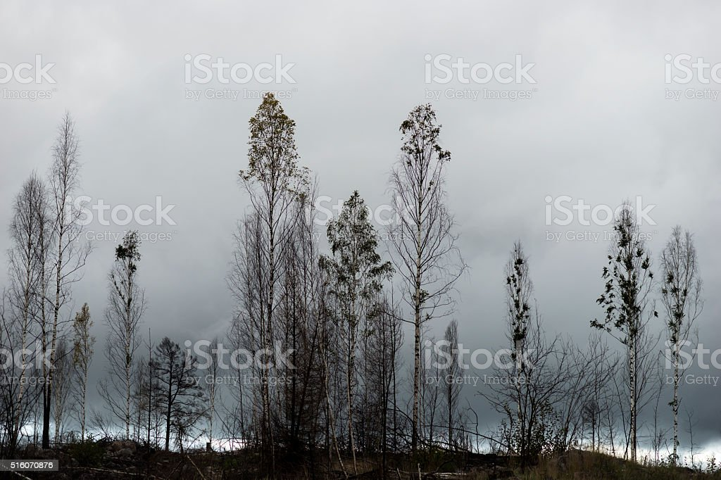 Trees after fire stock photo