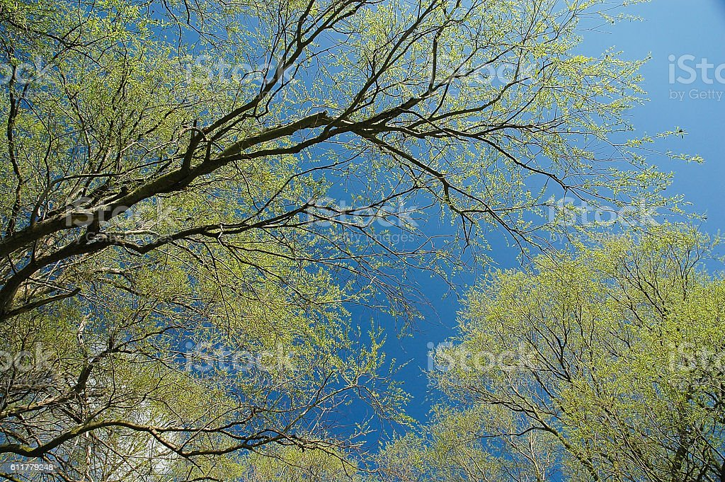 Trees against blue sky in Spring stock photo