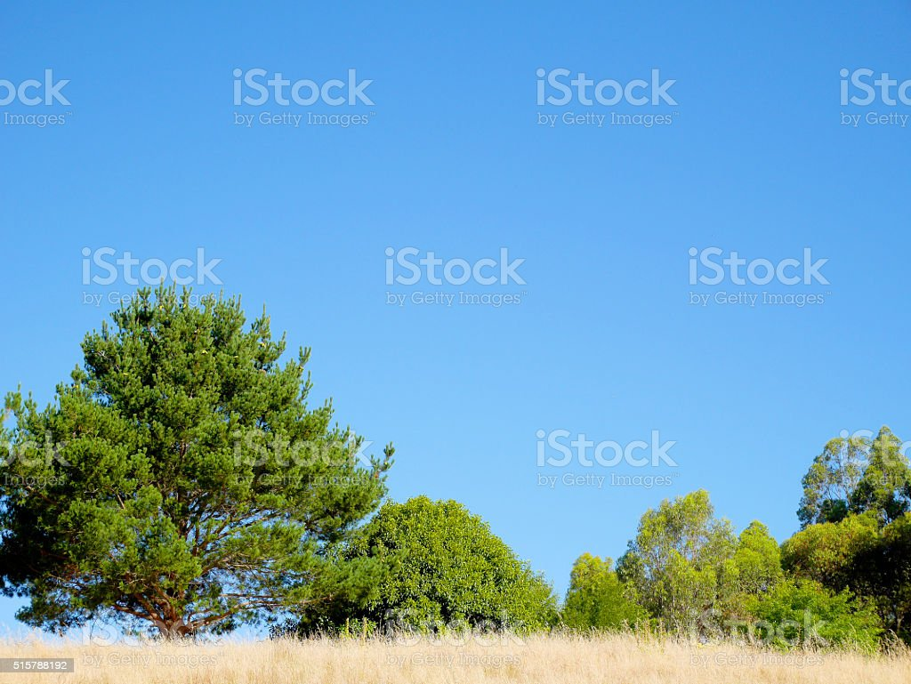 Trees and golden field on clear blue sky stock photo
