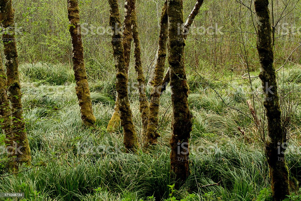 Trees and Marsh Grass in the Redwoods royalty-free stock photo
