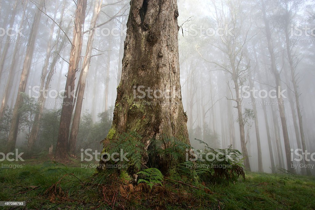 Trees at Black Spur royalty-free stock photo
