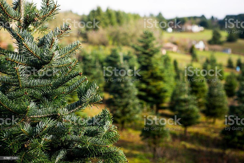 Trees at Christmas Tree farm stock photo