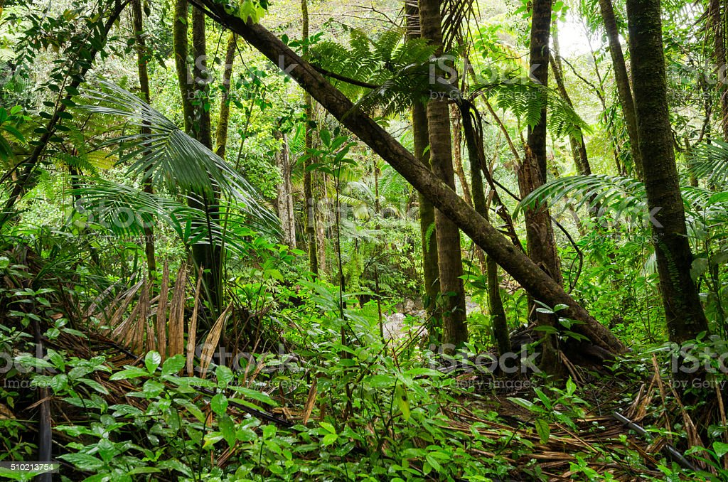 Trees at El Yunque National Forest in Puerto Rico stock photo