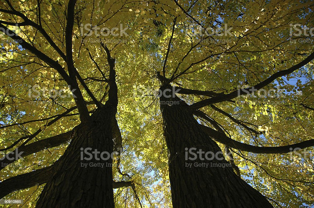 Trees brothers royalty-free stock photo