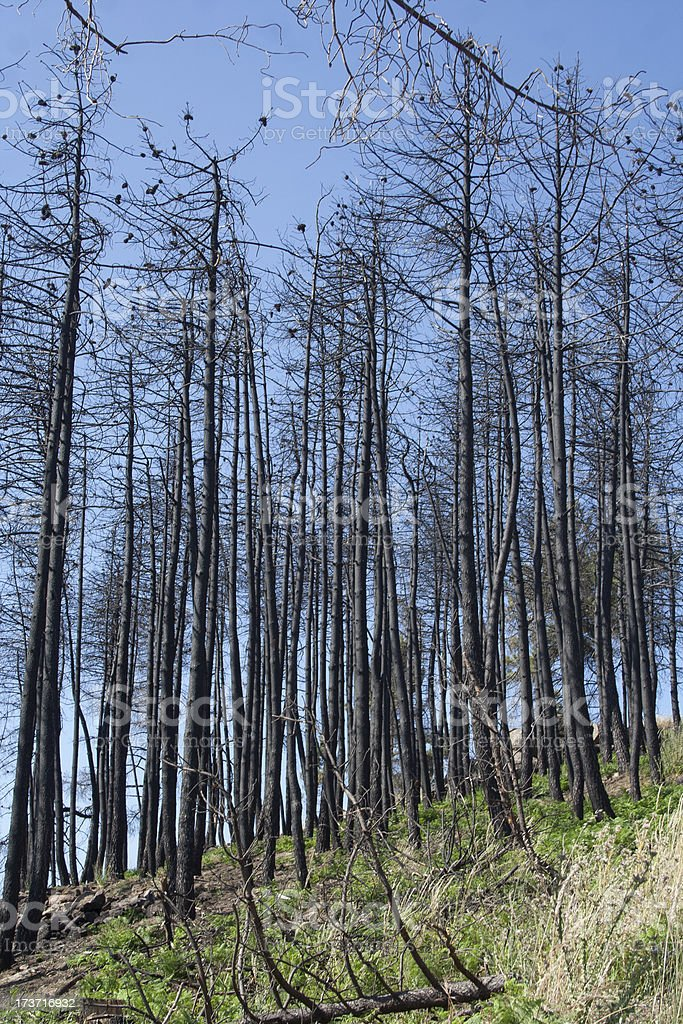Trees burned in a fire royalty-free stock photo