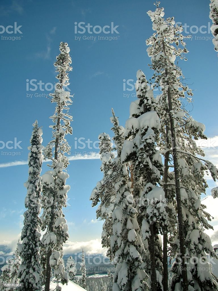 Trees caked with snow on Big White Mountain stock photo