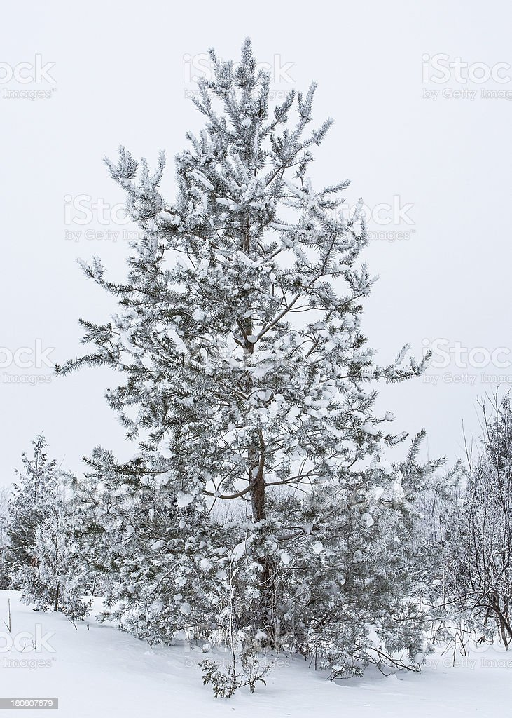 Trees Covered in Snow stock photo