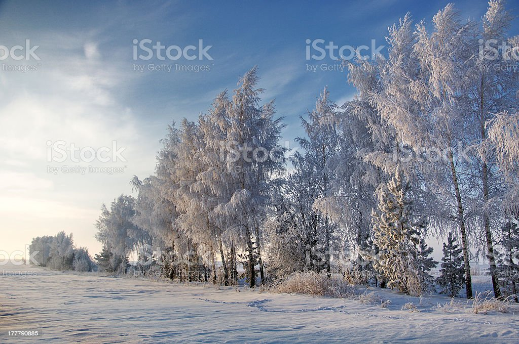 Trees covered with rime stock photo