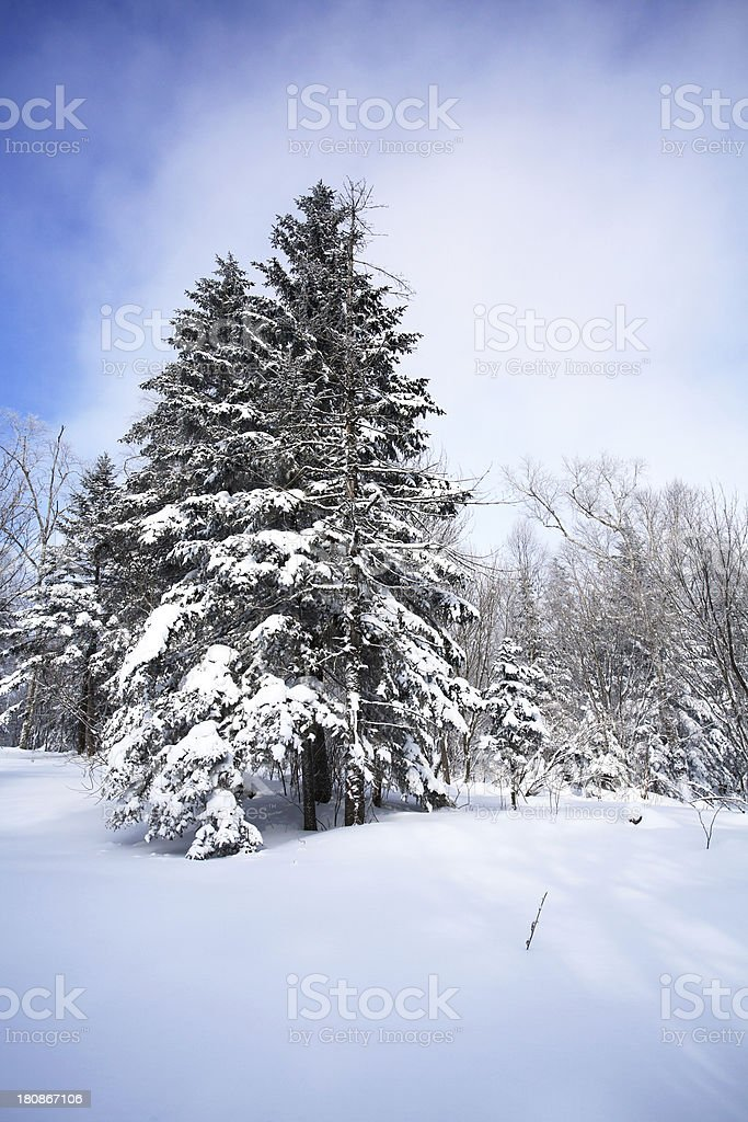 Trees Covered With Snow royalty-free stock photo