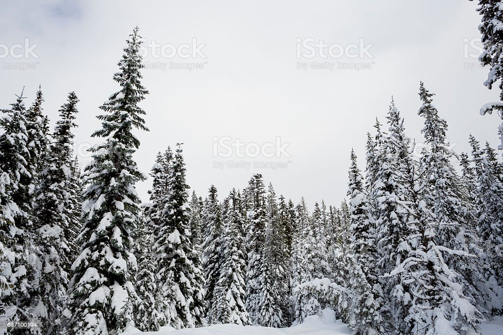 Trees covered with snow winter forest fresh snowfall stock photo