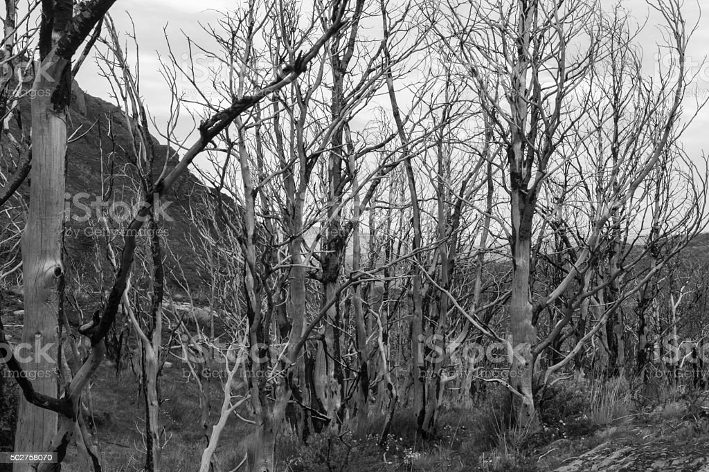 Trees damaged in forest fire stock photo