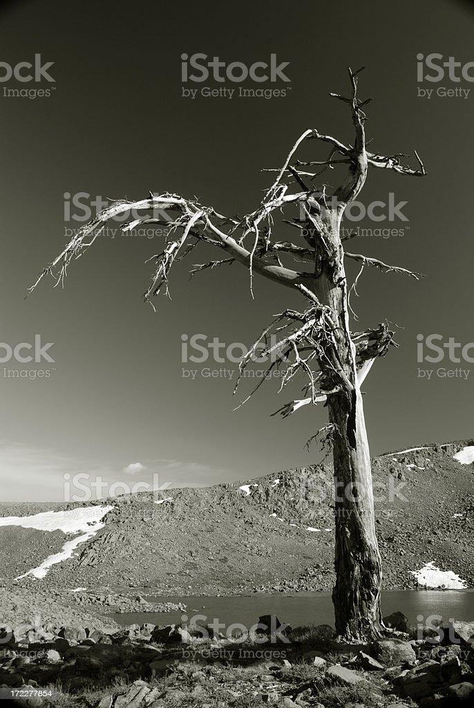 Trees Die Standing royalty-free stock photo