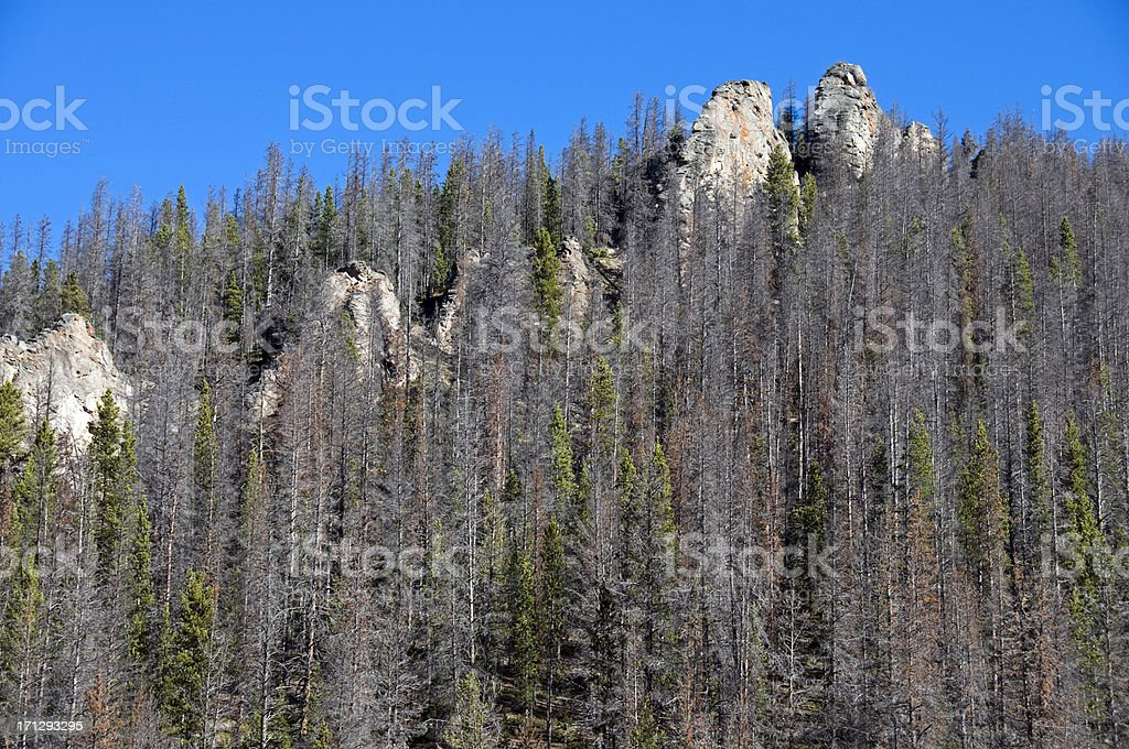 Trees dying from pine beetle infestation in Colorado stock photo
