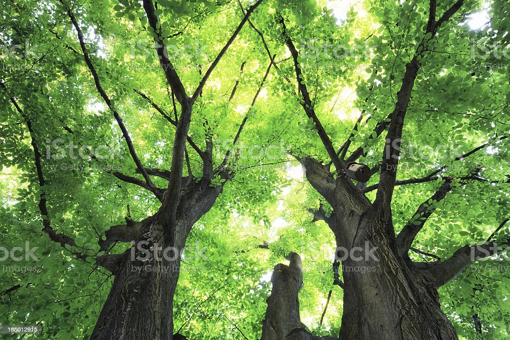 Trees From Below royalty-free stock photo