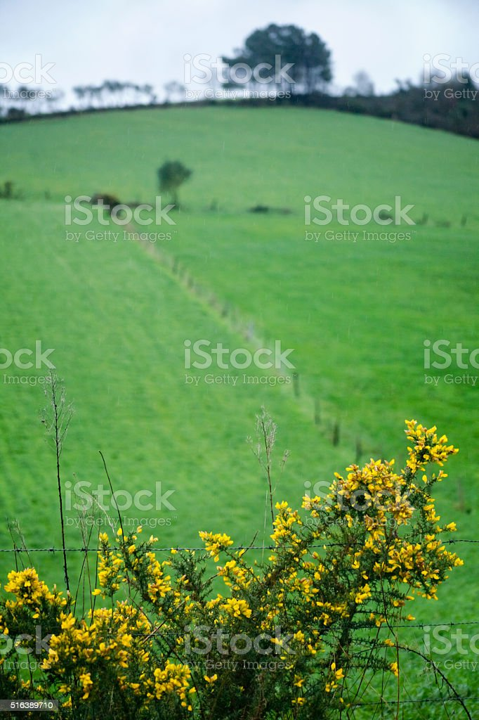 Trees, green meadow, gorse yellow flowers. stock photo