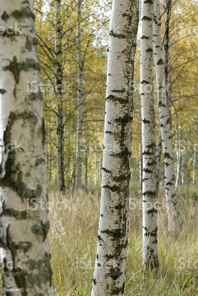 Árboles en el bosque foto de stock libre de derechos