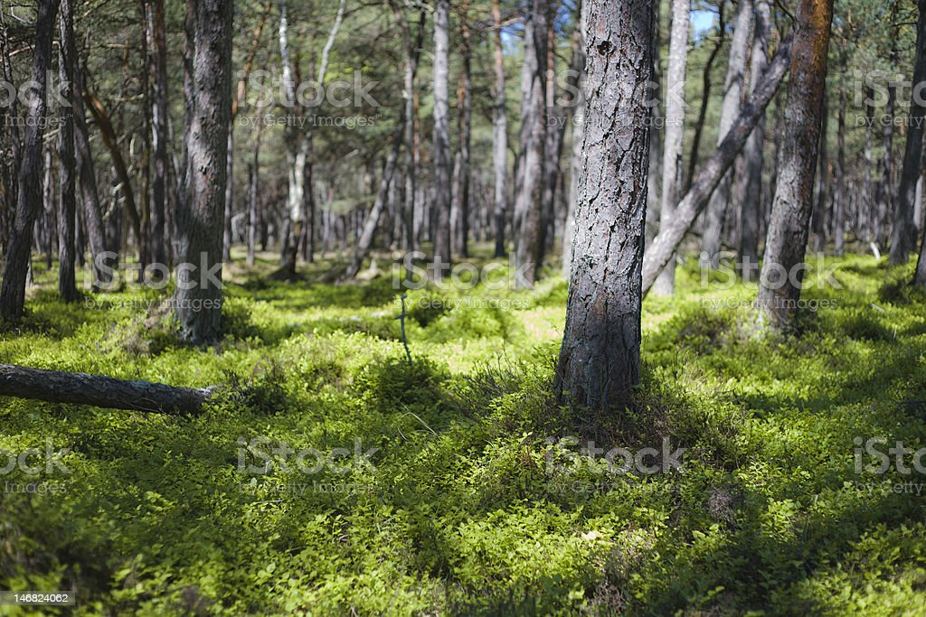 Trees in a forest royalty-free stock photo
