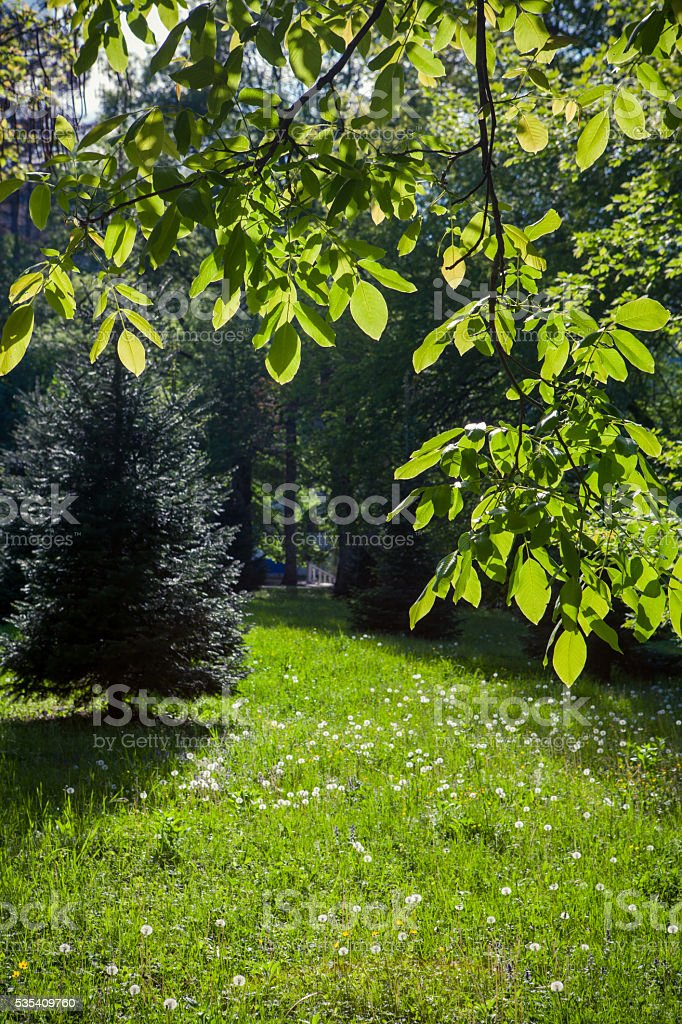 Trees in a summer park stock photo