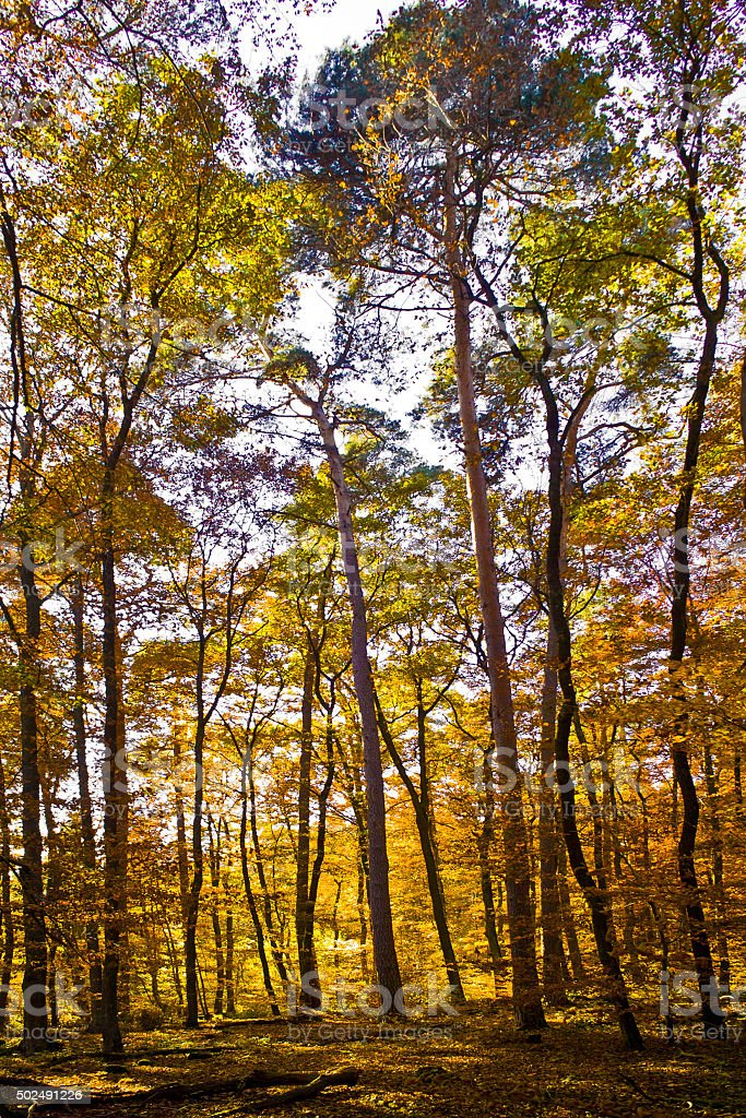 trees in autumn in the forest stock photo