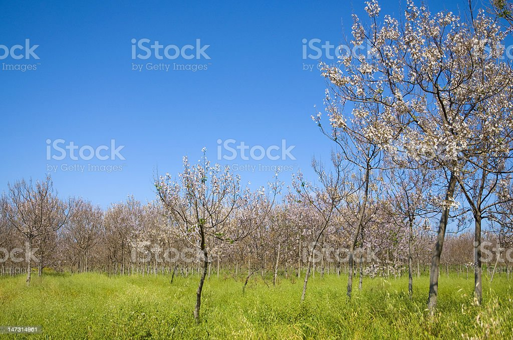 Trees in blossom stock photo