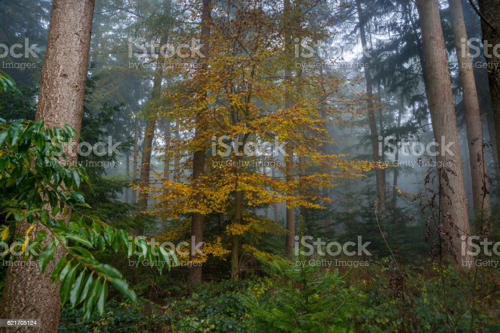 Trees in dark and misty autumn forest stock photo