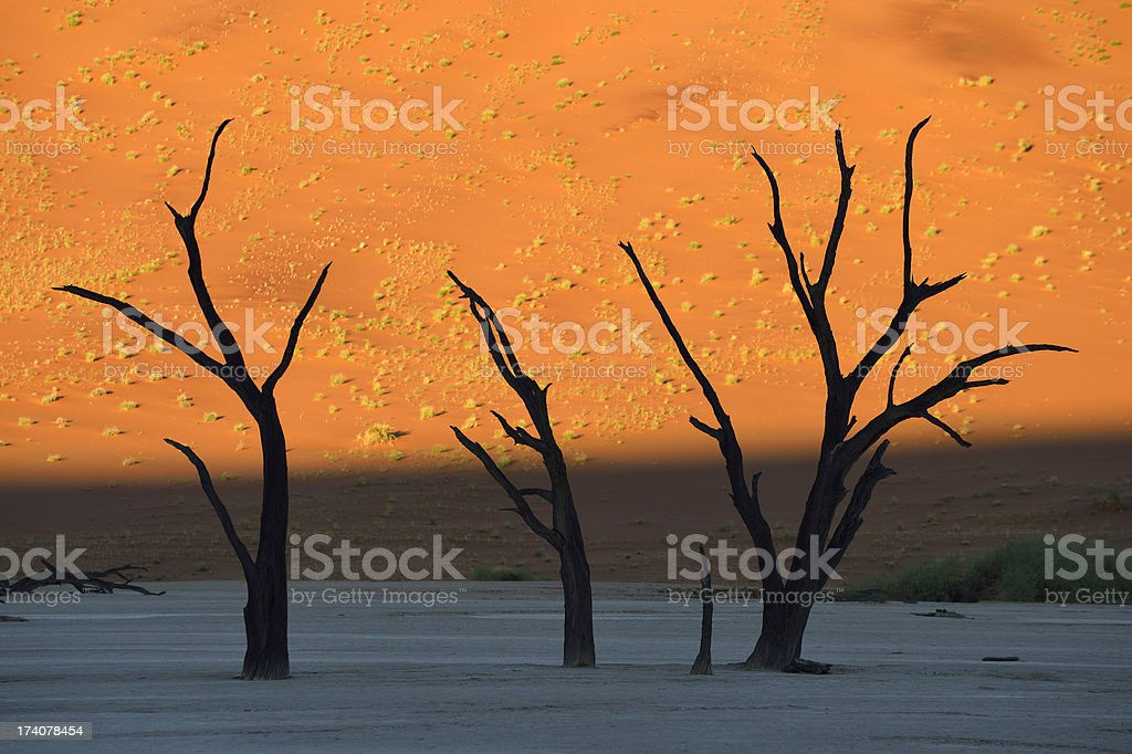 Trees in front of a dune early morning stock photo