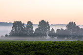 trees in ground fog in the morning