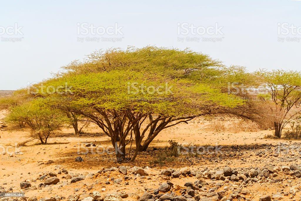 Trees in Kenya stock photo