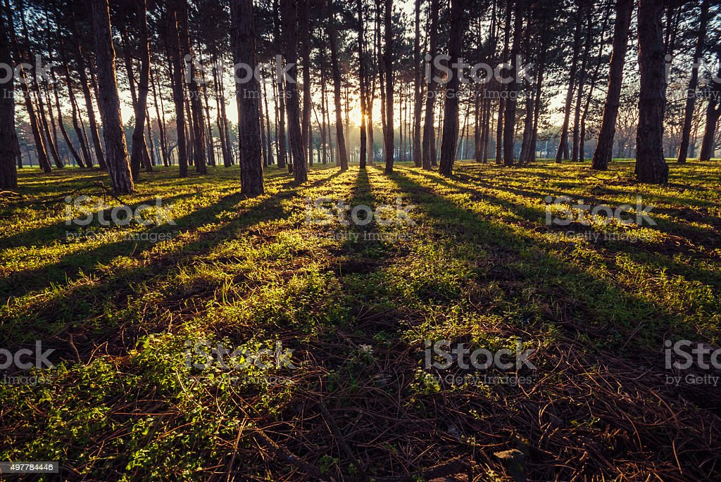Trees in park back lit with sunset sunlight stock photo