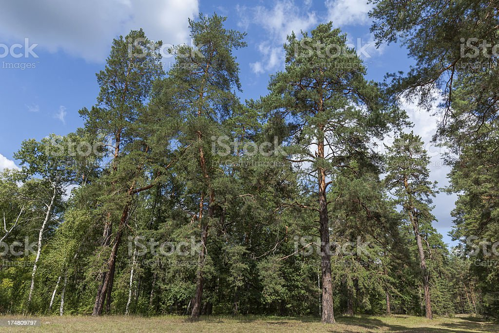 Trees in pinewood royalty-free stock photo