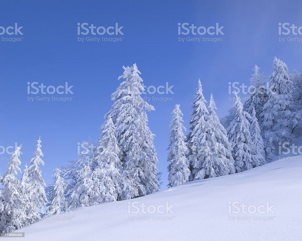 Trees in Snow XL+ royalty-free stock photo