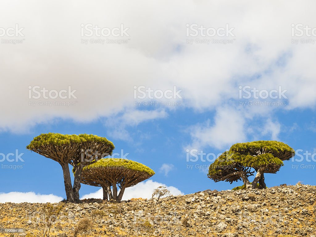Trees in Socotra stock photo