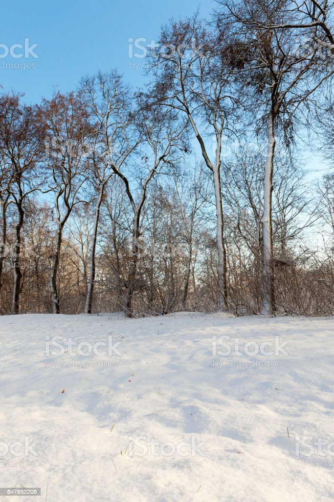 trees in the forest in winter stock photo