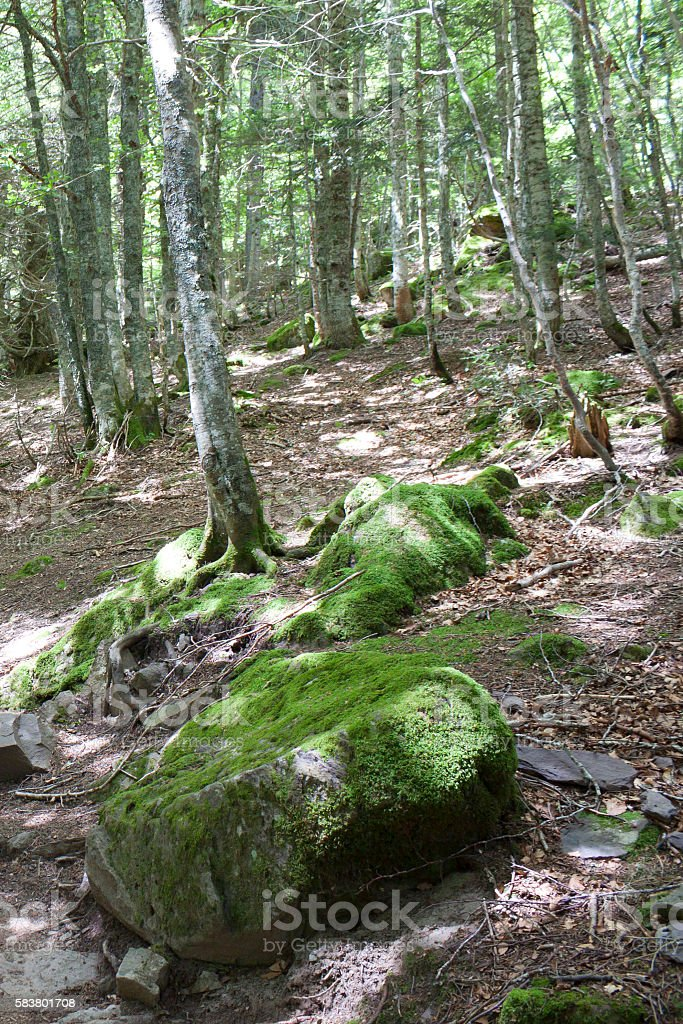 trees in the forest with stones and moss in the stones stock photo