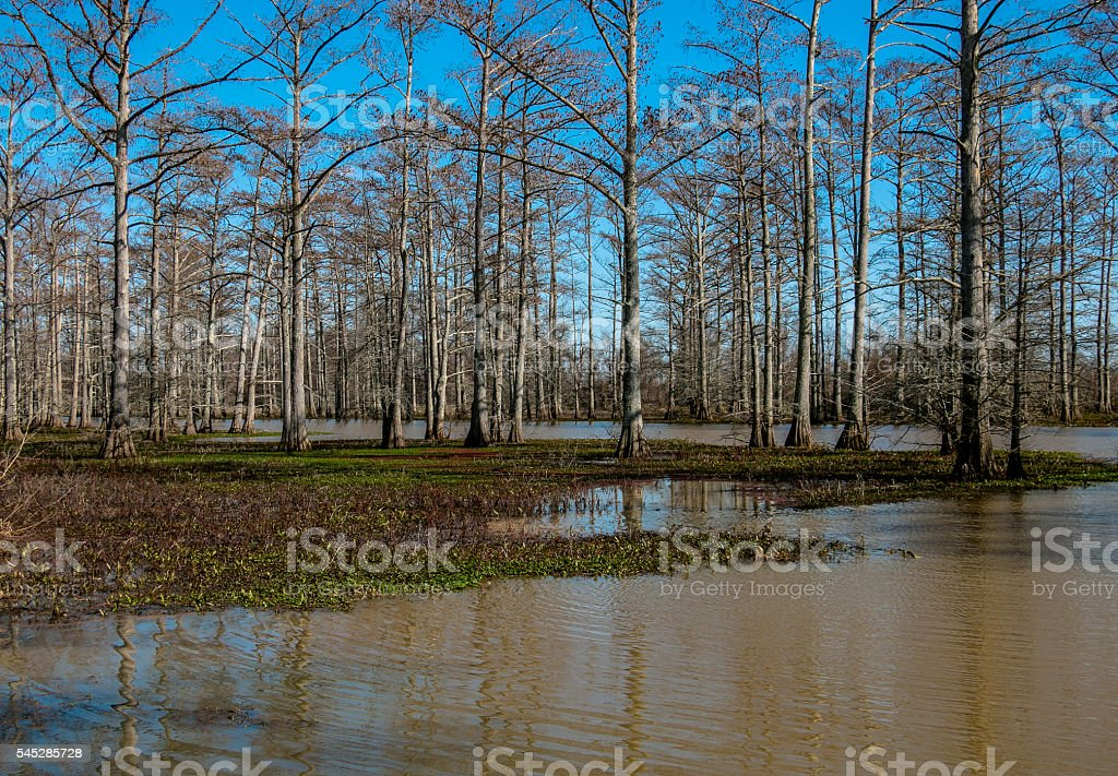 Trees in the Swamp stock photo