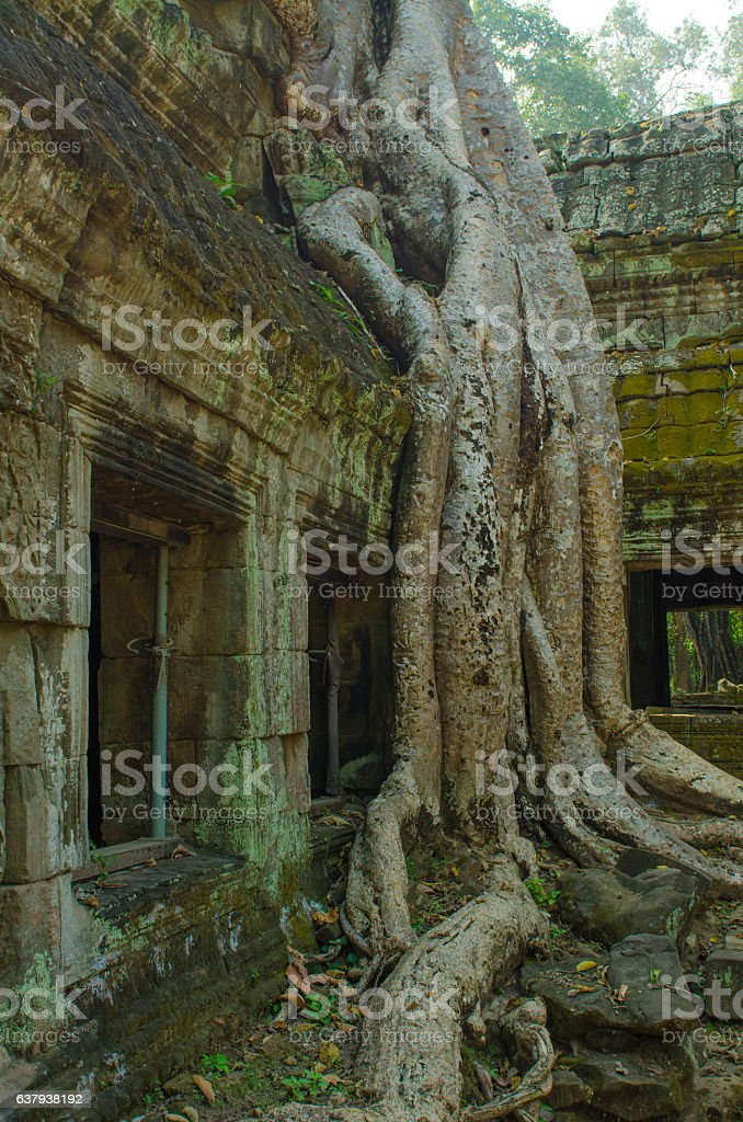 trees in the temple complexes of Indochina stock photo