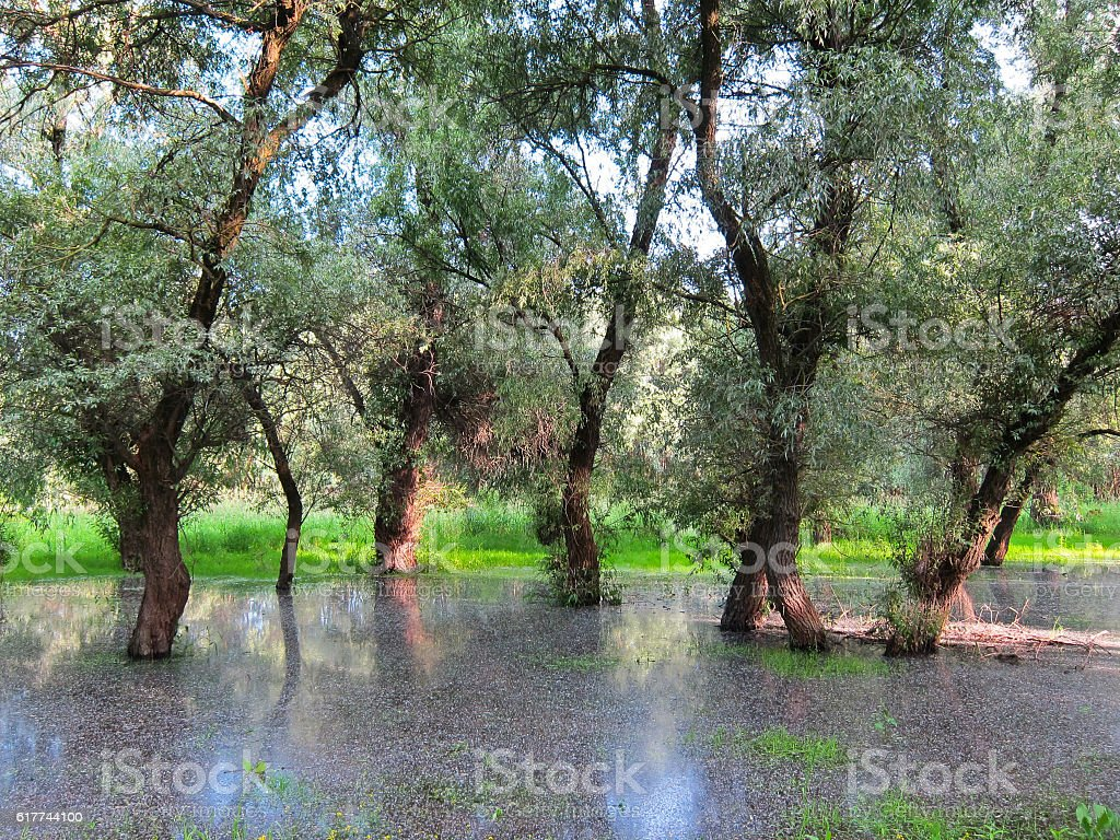 Trees in the water during spring floods stock photo