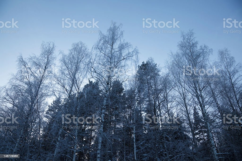 Trees in the winter royalty-free stock photo
