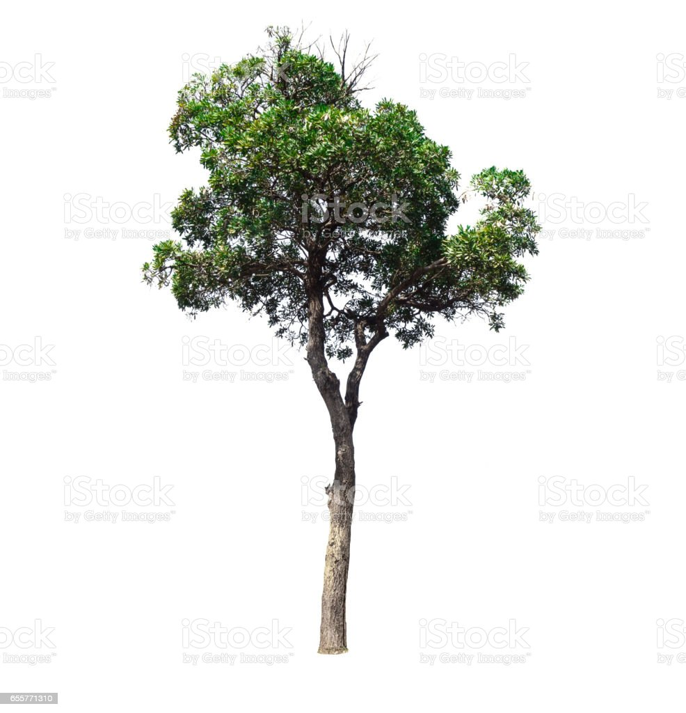Trees isolated on white background stock photo