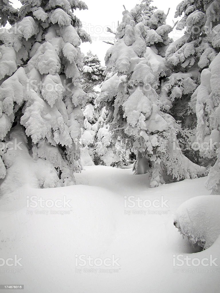 Trees Laden with Snow on Starr King Trail stock photo