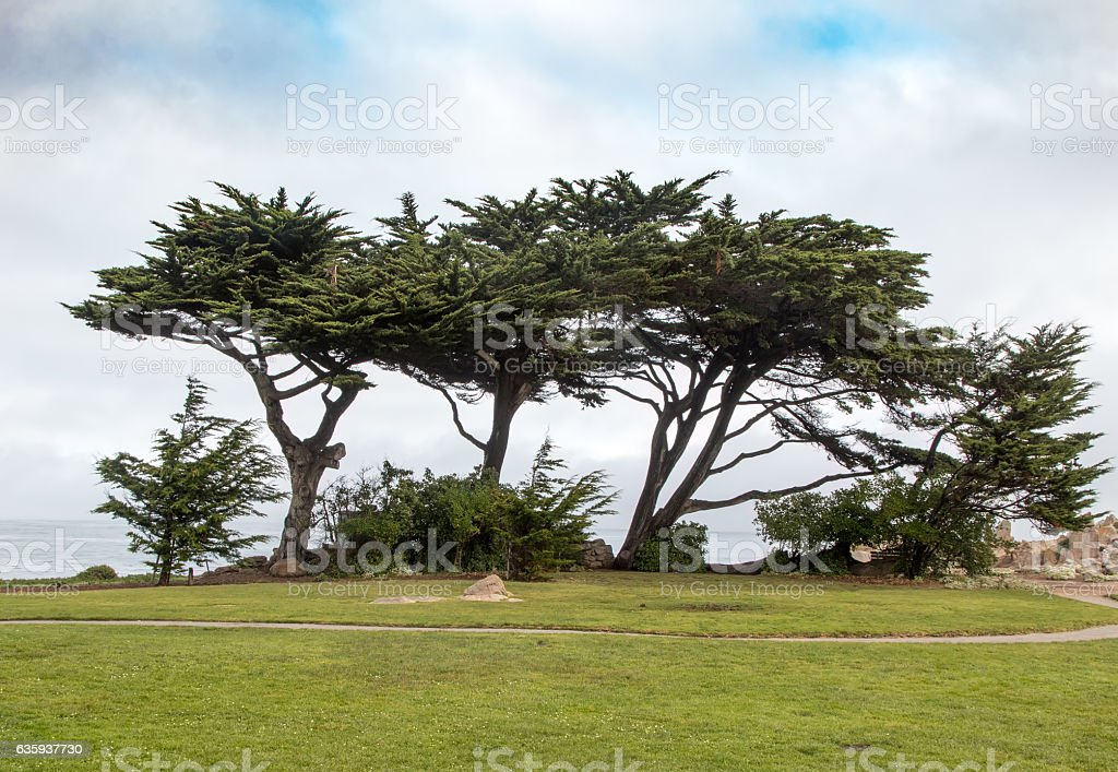 Trees Leaning Right with Cloudy Skies stock photo