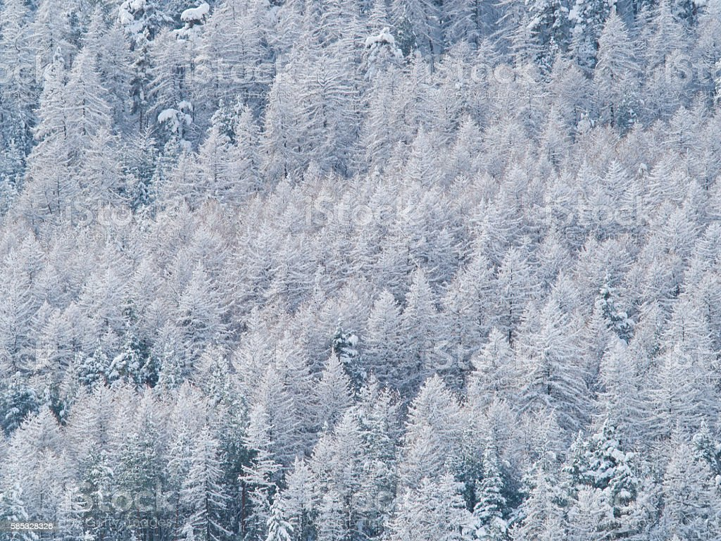 trees of a forest  covered with snow and ice stock photo