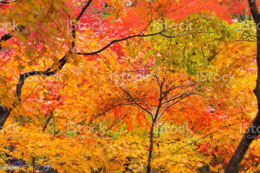 Trees of Fall Colors stock photo