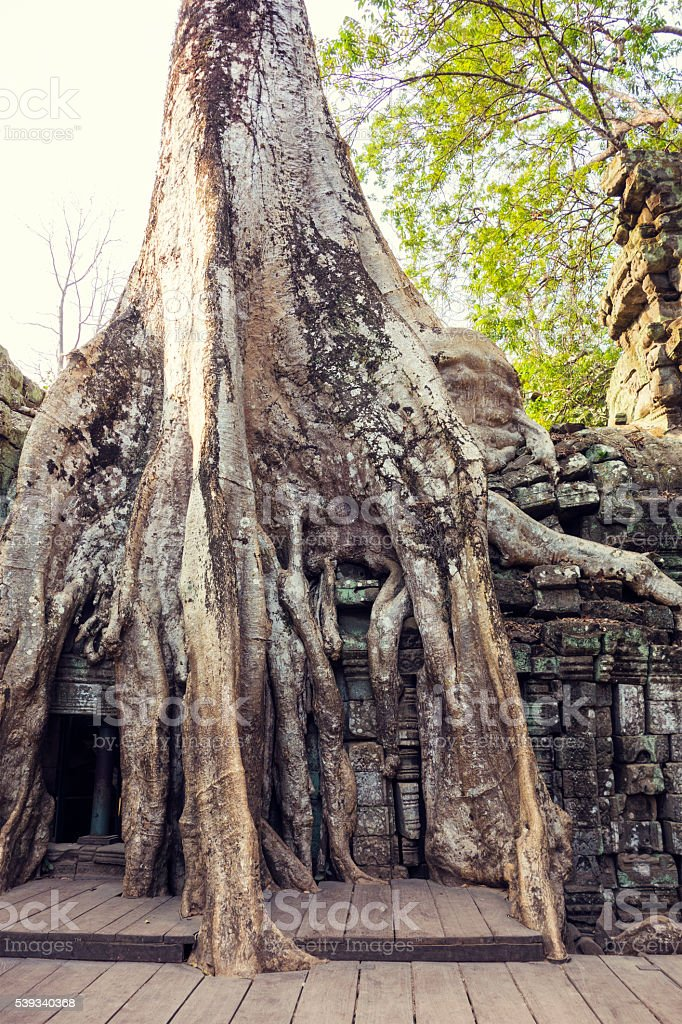 Trees of Ta Prohm Temple in Angkor Wat, Cambodia stock photo