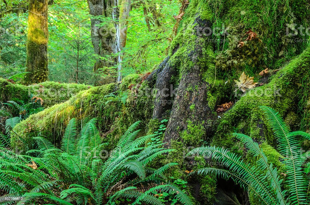 Trees of the Lush Green Hoh Rainforest stock photo