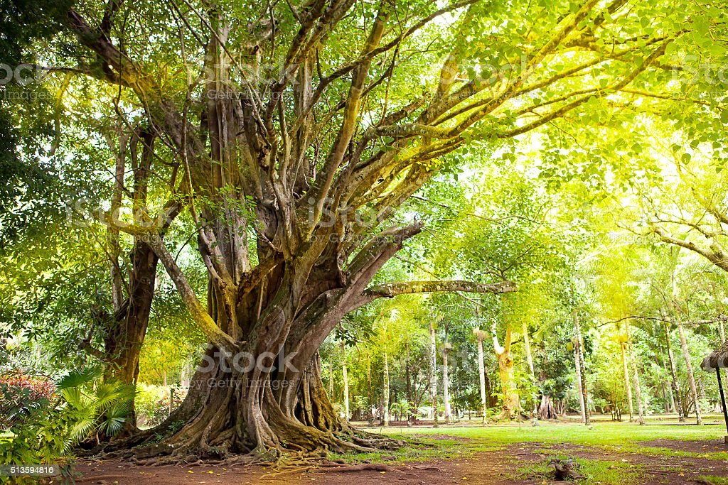 Trees of tropical climate.  Mauritius stock photo