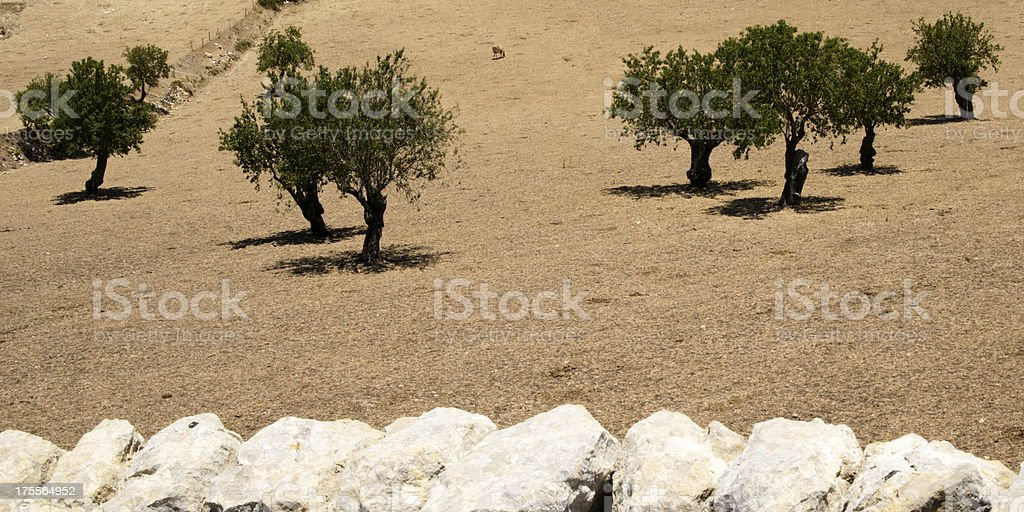 Trees on a dry farm field in Sicily royalty-free stock photo
