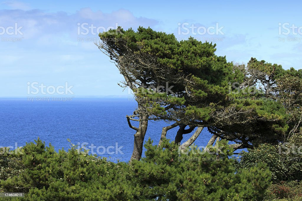 trees on the cliffs at St. Ives royalty-free stock photo