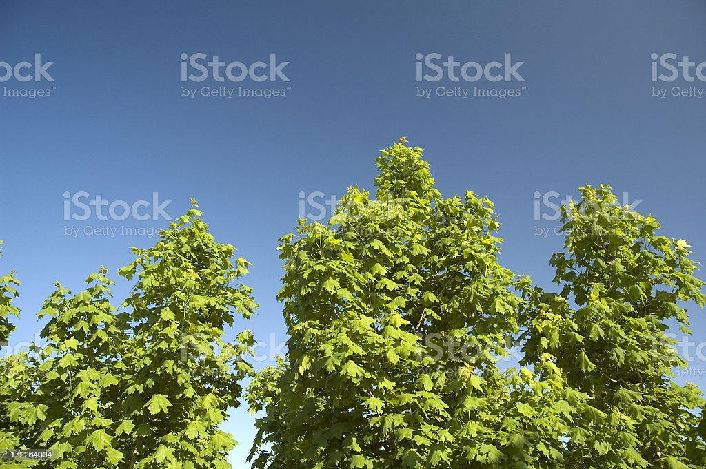 Trees royalty-free stock photo